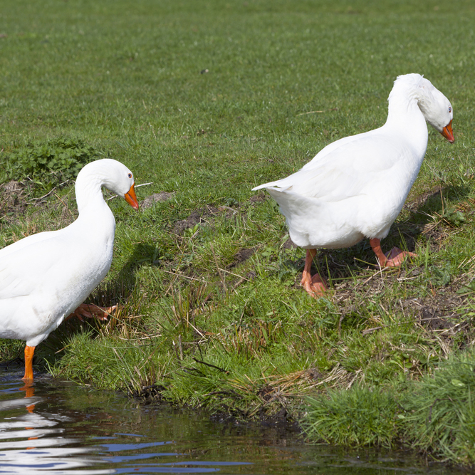 two white geese walking out of river in Pigeon Forge TN