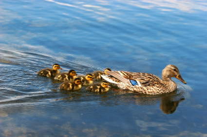 Momma duck with ducklings in river in Pigeon Forge Tn